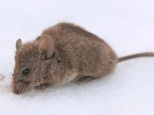 House Mouse Control Service