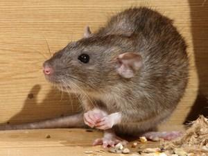 Norway Rats Control Service