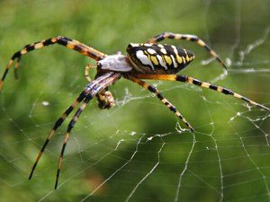 Orb Weaver Spider Control Service