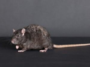 Roof Rat Control Service