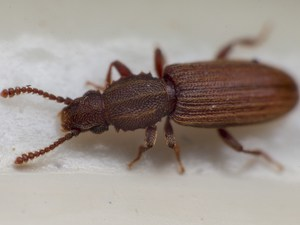 Sow Toothed Beetle Removal Service